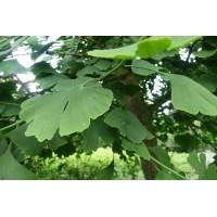 Ginkgo biloba Bio Capsules (Japanse notenboom) 250mg