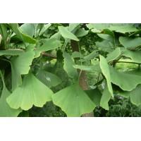 Ginkgo extract  (Japanse notenboom/Ginkgo biloba)