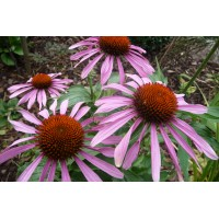 Echinacea extract  (Rode zonnehoed)