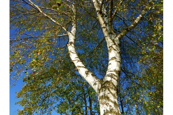 Berk extract  (Betula alba)