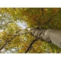 Berktinctuur  (Betula pendula)