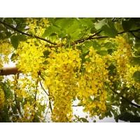Sennatinctuur (Cassia angustifolia)