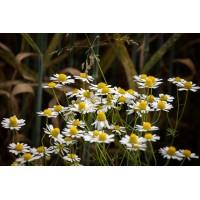 Kamilletinctuur  (Matricaria recutita/Chamomilla recutita)
