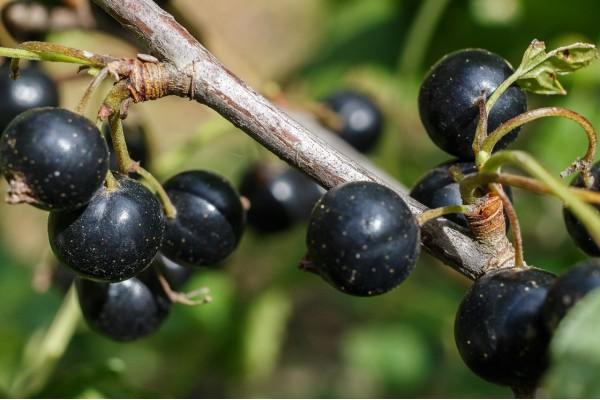 Zwarte bes extract  (Ribes nigrum)