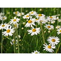 Kamille extract  (Anthemis nobilis/Roomse kamille)