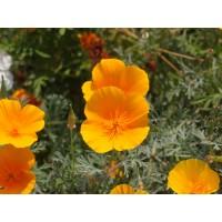 Slaapmutsjetinctuur (Eschscholzia californica)