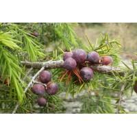 Jeneverbestinctuur  (Juniperus communis)