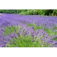 Lavendeltinctuur (Lavandula angustifolia)