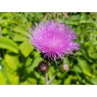Mariadistel extract  (Silybum marianum/Carduus marianus)