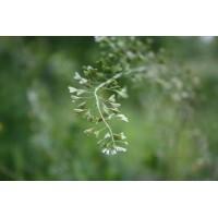 Herderstasjetinctuur  (Capsella bursa pastoris)