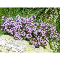 Tijmtinctuur (Thymus vulgaris)