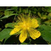 Sint-janskruid  extract  (Hypericum perforatum)