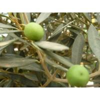Olijfboomtinctuur (Olea europea)