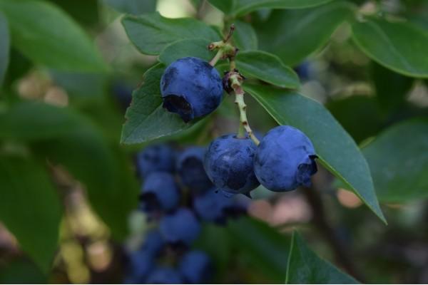 Blauwe bosbes extract  (Vaccinium myrtillus)