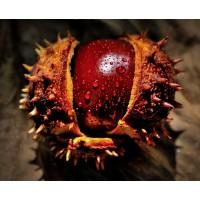 Paardenkastanje extract  (Aesculus hippocastanum)