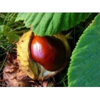 Paardenkastanjetinctuur  (Aesculus hippocastanum)