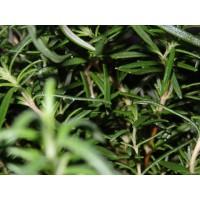Rozemarijn extract  (Rosmarinus officinalis)