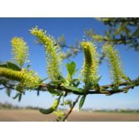 Wilg extract  (Salix)