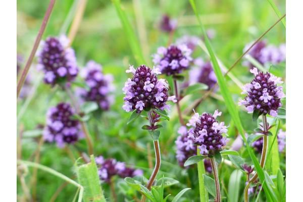 Tijm extract  (Thymus vulgaris)