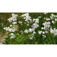 Duizendblad extract  (Achillea millefolium)