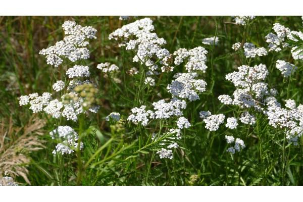 Duizendbladtinctuur  (Achillea millefolium)