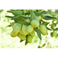 Jojoba-olie (Simmondsia chinensis oil)