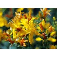 Sint-Janskruidolie (Hypericum perforatum  oil)