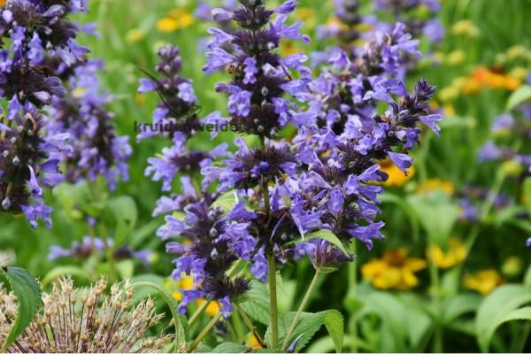 Lavendelolie (Lavandula x hybrida clone super grosso)