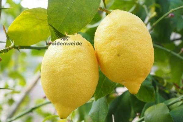 Citroenolie (Citrus limonum)