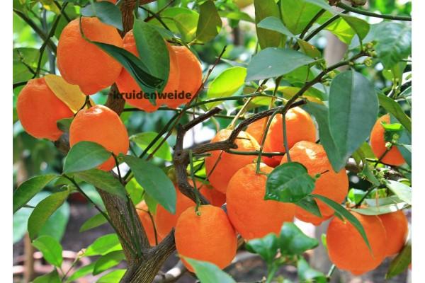 Sinaasappelolie (Citrus x sinensis)