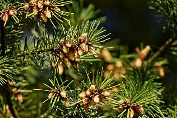 Dennenolie (Pinus sylvestris)