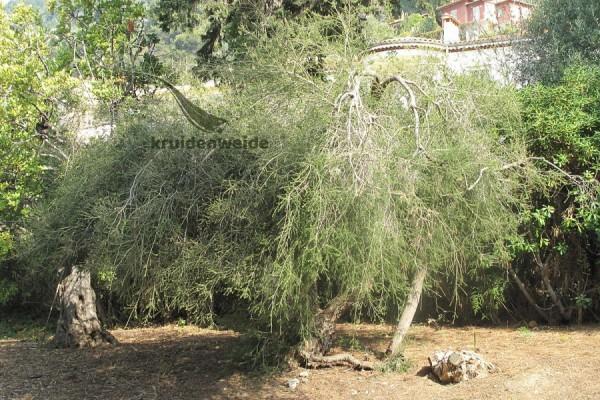 Tea tree olie (Melaleuca alternifolia)