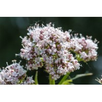 Valeriaantinctuur  (Valeriana officinalis)