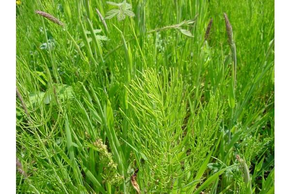 Heermoestinctuur (Equisetum arvense)