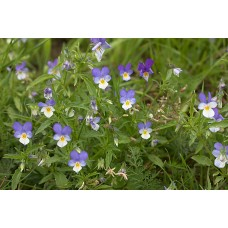 Driekleurig viooltje tinctuur Kruidenweide 100ml (Viola tricolor)