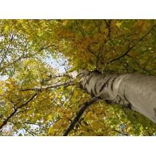 Berk tinctuur Kruidenweide 50ml (Betula pendula)