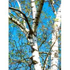 Berk tinctuur Kruidenweide 100ml (Betula pendula)
