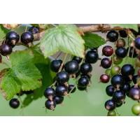 Zwarte bes tinctuur (Ribes nigrum)