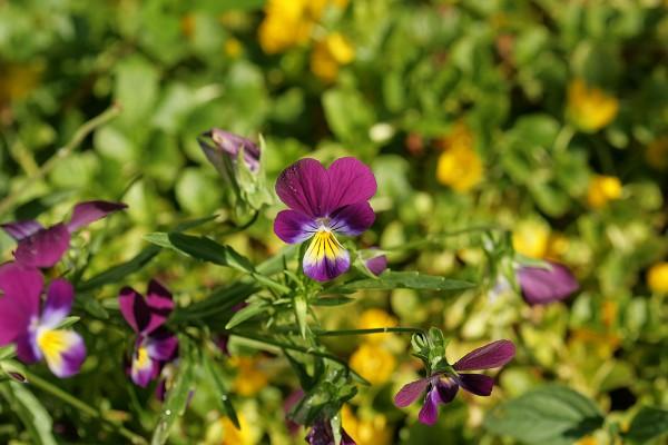 Driekleurig viooltje tinctuur (Viola tricolor)