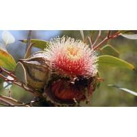 Eucalyptus olie 100ml