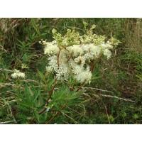 Moerasspireatinctuur 50ml (Filipendula ulmaria - Spiraea ulmaria)