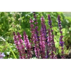 Salietinctuur  (Salvia officinalis)