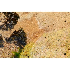 Blaaswier tinctuur  Kruidenweide 50ml (Fucus vesiculosus)
