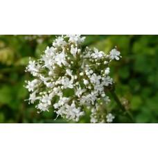 Valeriaan extract  (Valeriana officinalis)