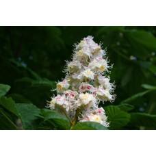 Akkerhoningklaver tinctuur Kruidenweide 50ml (Melilotus officinalis)