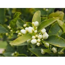 Oranjebloesem extract  (Sinaasappelbloesem/Citrus aurantium)