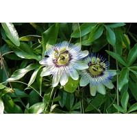 Passiebloemtinctuur (Passiflora incarnata)