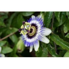 Passiebloem extract  (Passiflora incarnata)