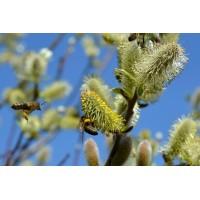 Wilgentinctuur (Salix)