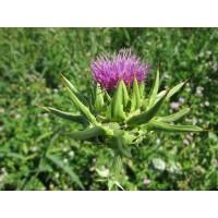 Mariadisteltinctuur (Silybum marianum - Carduus marianus)